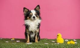 坐在复活节风景的奇瓦瓦狗 库存图片