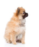 坐在外形的波美丝毛狗小狗 背景查出的白色 库存图片