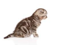 坐在外形的苏格兰小猫 背景查出的白色 库存图片