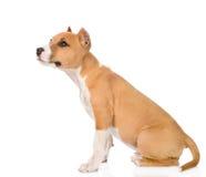 坐在外形的stafford小狗 背景查出的白色 库存照片