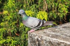 坐在大厦的屋顶的鸽子 库存照片