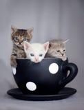坐在大杯子的三只小猫 库存照片