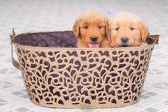 坐在大篮子的可爱的金毛猎犬小狗 库存图片