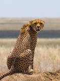 坐在大草原的猎豹 特写镜头 肯尼亚 坦桑尼亚 闹事 国家公园 serengeti 马赛马拉 库存图片