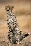 坐在大草原的猎豹 特写镜头 肯尼亚 坦桑尼亚 闹事 国家公园 serengeti 马赛马拉 库存照片