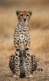 坐在大草原的猎豹 特写镜头 肯尼亚 坦桑尼亚 闹事 国家公园 serengeti 马赛马拉 免版税库存图片