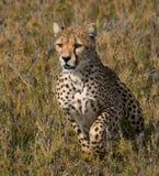 坐在大草原的猎豹 特写镜头 肯尼亚 坦桑尼亚 闹事 国家公园 serengeti 马赛马拉 免版税图库摄影