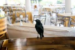 坐在室外咖啡馆的黑鸟 库存图片