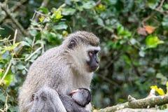 坐在密林的猿 图库摄影