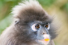 坐在密林的猿 免版税库存照片
