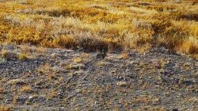 坐在寒带草原的一个逗人喜爱的灰色野兔 免版税库存照片