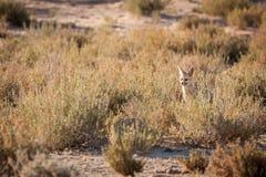 坐在小室之外的海角Fox 图库摄影