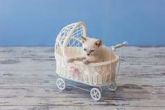 坐在小白色strolle的苏格兰平直的品种小猫  免版税图库摄影