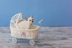 坐在小白色strolle的苏格兰平直的品种小猫  免版税库存照片
