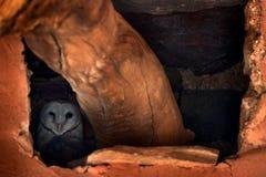 坐在巢孔的谷仓猫头鹰 从自然的野生生物场面 动物行为在栖所 在与鸟的巢晚上掩藏的猫头鹰 免版税库存图片
