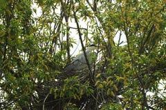 坐在巢的灰色苍鹭 免版税图库摄影