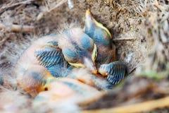 坐在巢的画眉小鸡 库存图片