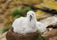 坐在巢的黑眉毛的信天翁小鸡 免版税库存图片