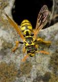 坐在巢附近的危险大胡蜂巢 免版税库存照片