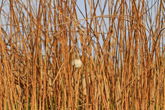 坐在干燥植物中丛林的小的鸟  免版税库存图片