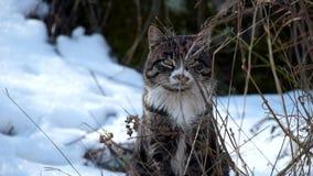 坐在干草和雪中的猫 股票视频
