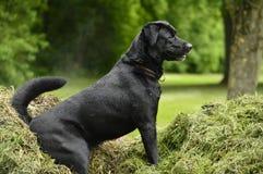 坐在干草的狗 免版税库存图片