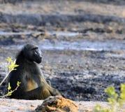 坐在平衡的狒狒与闪耀和面对照相机的眼睛的太阳 库存图片