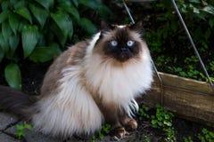坐在庭院里的喜马拉雅猫 库存照片