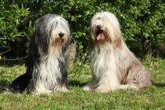 坐在庭院里的有胡子的大牧羊犬 免版税图库摄影