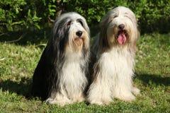 坐在庭院里的有胡子的大牧羊犬 免版税库存照片