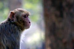 坐在开放的猴子 图库摄影