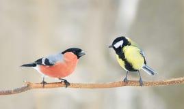 坐在彼此对面的两只鸟红腹灰雀和蓝冠山雀在公园 库存照片