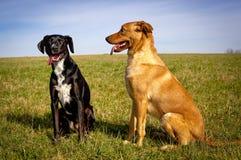 坐在彼此旁边的两条甜狗在绿色领域 免版税图库摄影