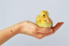 坐在我的手上的鸭子! 库存图片
