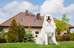坐在房子前面的大护卫犬 擦亮Tatra护羊狗 免版税库存图片
