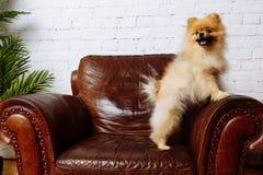 坐在扶手椅子的逗人喜爱的波美丝毛狗狗 免版税图库摄影