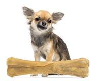坐在指关节骨头之后的奇瓦瓦狗 图库摄影