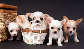 坐在推车附近的白色小奇瓦瓦狗puppys 库存照片