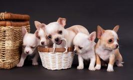 坐在推车附近的白色小奇瓦瓦狗puppys 免版税库存图片