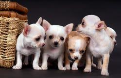 坐在推车附近的白色小奇瓦瓦狗puppys 免版税库存照片