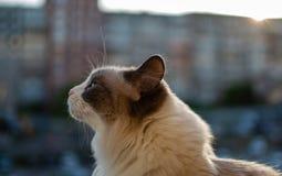 坐在日落的背景中的美丽的家猫 库存图片