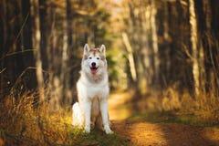 坐在明亮的秋天森林里的华美,愉快,自由和自傲灰棕色和白色狗品种西伯利亚爱斯基摩人画象在 图库摄影