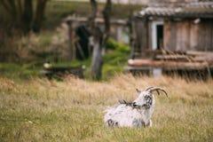 坐在春天草的山羊在村庄 7个动物动画片农厂例证系列 免版税库存图片