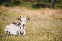 坐在春天草的山羊在村庄 7个动物动画片农厂例证系列 免版税库存照片