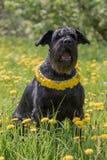 坐在有丹花圈的蒲公英草甸的髯狗狗  库存照片