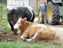 坐在有另一头母牛的篱芭旁边的赫里福德母牛 免版税库存照片