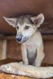 坐在有木头的木箱的愉快的小狗作为礼物 免版税图库摄影
