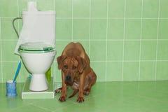 坐在有洗手间的卫生间里的Rhodesian ridgeback 库存照片