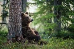 坐在杉木棕熊下 库存图片