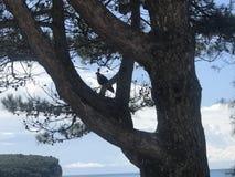 坐在杉木的老鹰在海滩靠近城市 库存照片